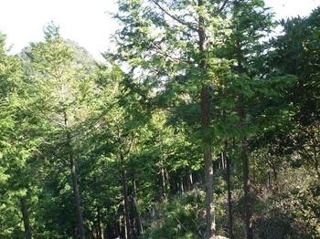 P1130425ヒノキ幼樹林境から熊野岳.JPG