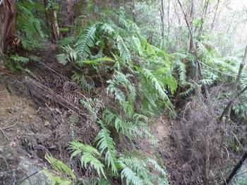 P1130488ネット沿いのシダ道から左上のヒノキ林へ.JPG