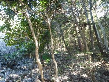 P1130763尾根の切り開きを左伐採荒地沿いに登る.JPG