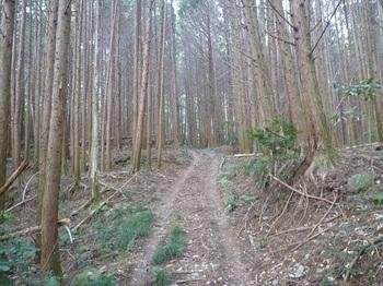 P1130878ヒノキ林の未舗装林道.JPG
