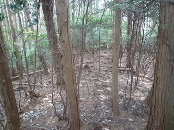 P1130908雑木低木が混じるヒノキ林尾根.JPG