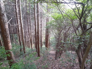 P1130941ヒノキ林境.JPG