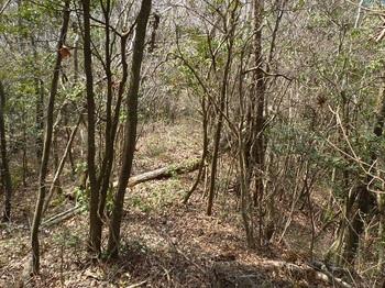 P1150052雑木疎林の切り開き.JPG
