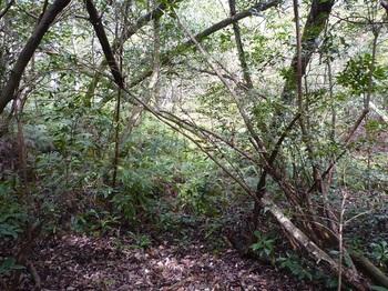 P1150139シダが目立つ山道・ここで左下の山道へ下りる.JPG