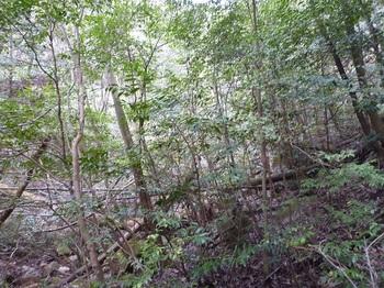 P1150164倒木で歩きづらい.JPG