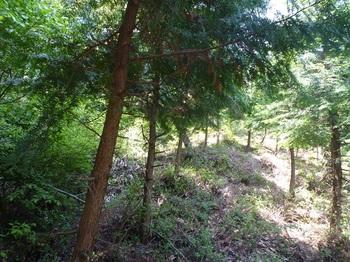 P1160018ヒノキ林境・下刈り斜面.JPG