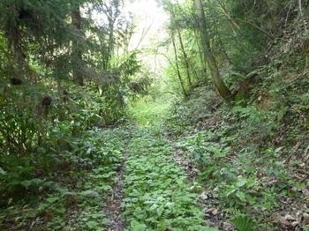 P1160299やや下草被りの林道.JPG