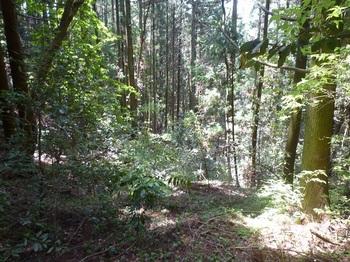 P1160338谷の植林境を下る.JPG