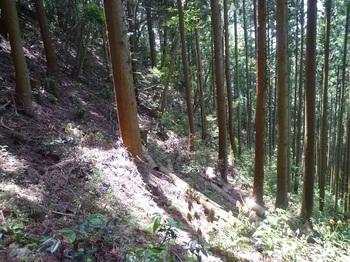 P1160341植林斜面をトラバース.JPG