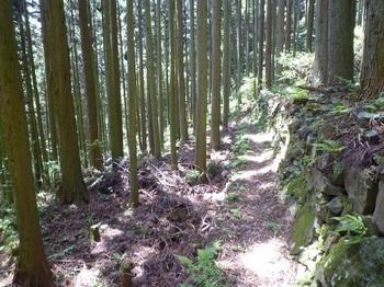 P1160358石垣沿いの山道・スギ林.JPG