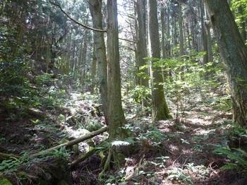 P1160478植林下の踏み跡.JPG