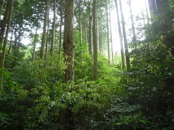 P1160637上方の植林ヤブ.JPG