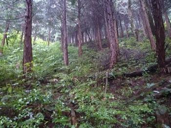 P1170061植林斜面を直登する.JPG