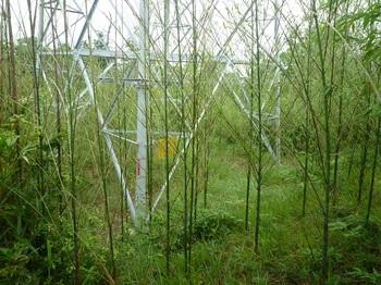 P1170154竹林に建つ鉄塔.JPG