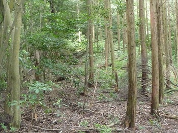 P1170203ヒノキ林境.JPG
