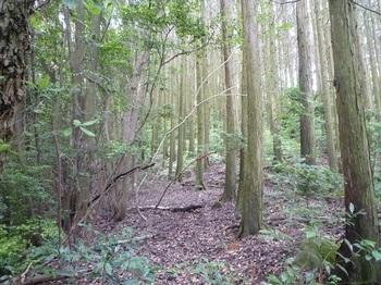 P1170205ヒノキ林境.JPG