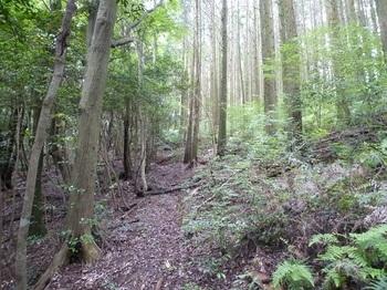 P1170206ヒノキ林境を巻き気味に登る.JPG