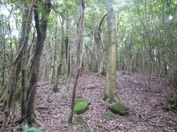 P1170227雑木疎林の平坦尾根.JPG