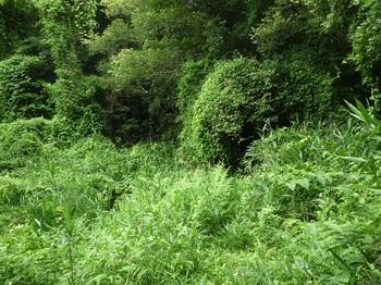 P1170261草被りの対岸部.JPG