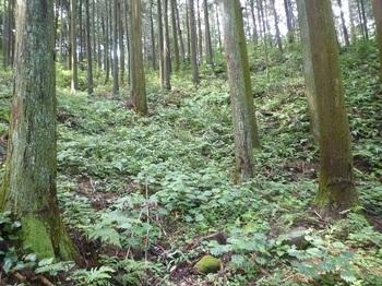 P1170331作業道終点・植林斜面.JPG