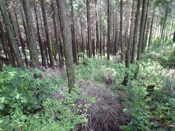 P1170372倒木等でヤブ気味の植林斜面.JPG