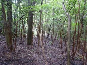 P1170566疎林を左へトラバース.JPG