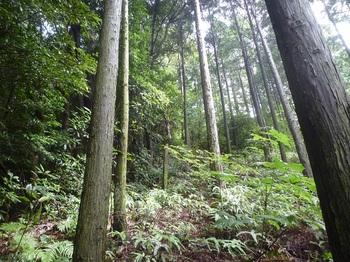 P1170567ヒノキ林境へ出る(上方).JPG