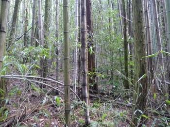 P1170674植林・竹林の右斜面へトラバース.JPG