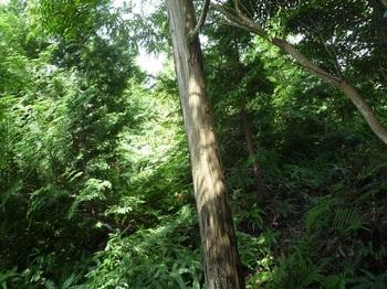P1170686ヒノキ中木林.JPG