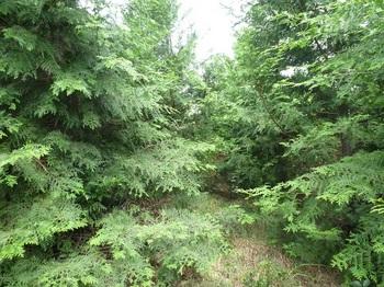 P1170689ヒノキ植林の踏み跡.JPG