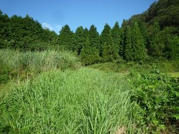 P1170842草被りの畦道.JPG