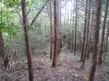 P1170960ヒノキ林境.JPG