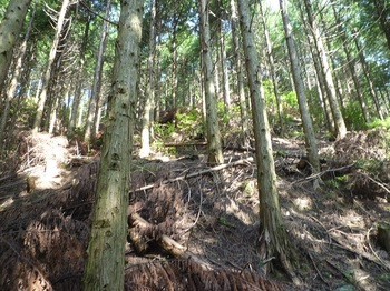 P1180290植林斜面を登る.JPG