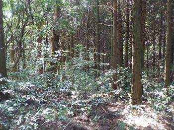 P1180324市境のヒノキ林境.JPG
