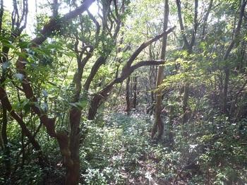 P1180328雑木切り開きの灌木ヤブ.JPG