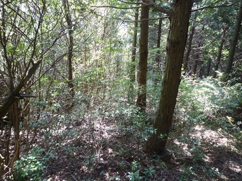 P1180343ヒノキ林境・灌木.JPG