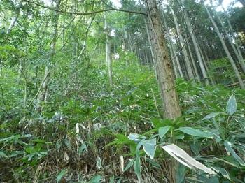 P1180664背丈高のササ・植林境.JPG