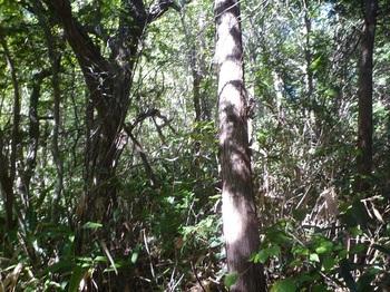 P1180701荒れたヒノキ林境.JPG
