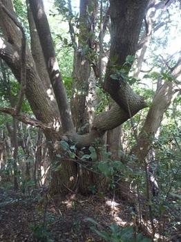 P1190206山頂下の大木.JPG