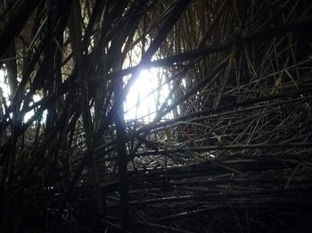 P1190290ヨシが茂る隙間に脱出箇所発見.JPG