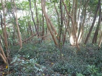 P1190419ツル性植物がはびこる斜面.JPG