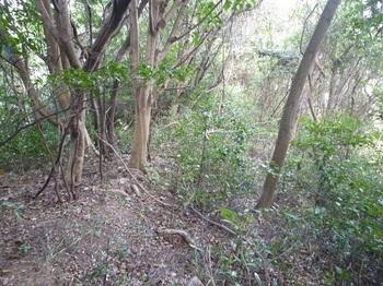 P1190433平坦尾根の灌木ヤブ.JPG