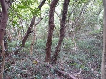 P1190508ツル植物に覆われた斜面.JPG