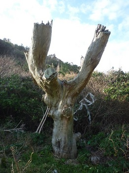 P1210146枯れ松の大木.JPG