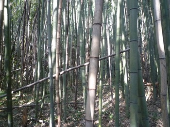 P1210892左斜面の竹林.JPG