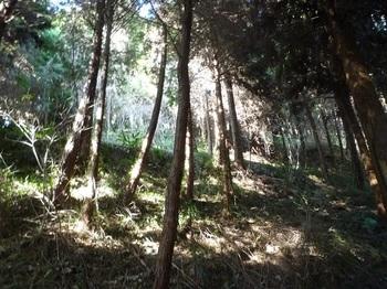 P1210934段状の植林斜面.JPG