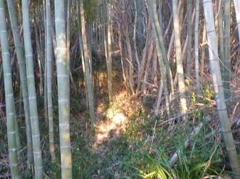 P1220433竹林の踏み跡.JPG