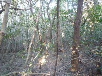 P1220485疎林尾根を進む.JPG