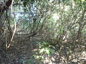 P1220496アオキなどが茂り歩きにくい.JPG