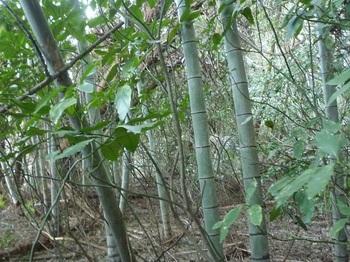 P1220545竹・アオキヤブの段上を進む.JPG